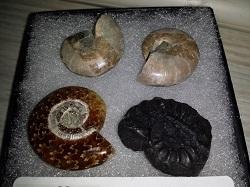 Four Ammonites