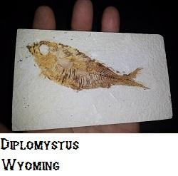 Diplomystus-(fish) fossil