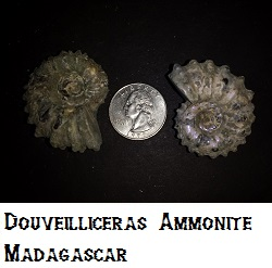 2 Douveilliceras Ammonites