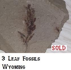 3 Leaf Fossils in matrix